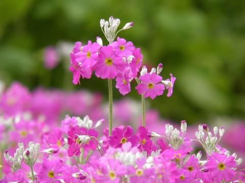 4月28日の誕生花と花言葉♪「さくら草」