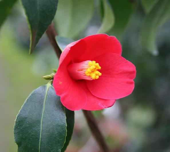 4月29日の誕生花と花言葉♪「つばき」