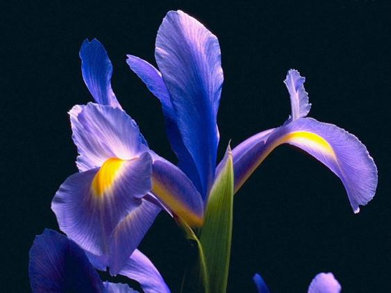 4月30日の誕生花と花言葉♪「いちはつ」