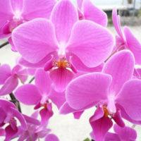 優しいお花 胡蝶蘭