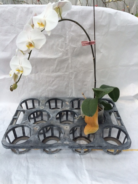 胡蝶蘭のきれいな曲がり
