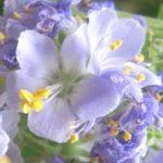 4月11日の誕生花と花言葉♪「ハナシノブ」