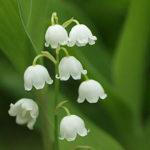 5月1日の誕生花と花言葉♪「すずらん」