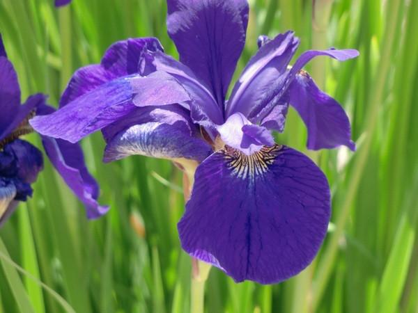 5月3日の誕生花と花言葉♪「あやめ」