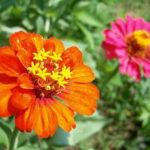 5月4日の誕生花と花言葉♪「百日草」