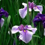 5月5日の誕生花と花言葉♪「しょうぶ」