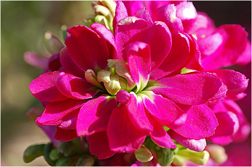 5月6日の誕生花と花言葉♪「ストック」