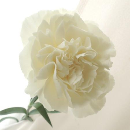 5月9日の誕生花と花言葉♪「カーネーション白」