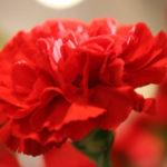 5月10日の誕生花と花言葉♪「カーネーション赤」