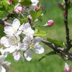 5月11日の誕生花と花言葉♪「りんご」