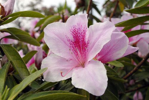 5月12日の誕生花と花言葉♪「つつじ」