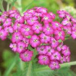 5月14日の誕生花と花言葉♪「鋸草」