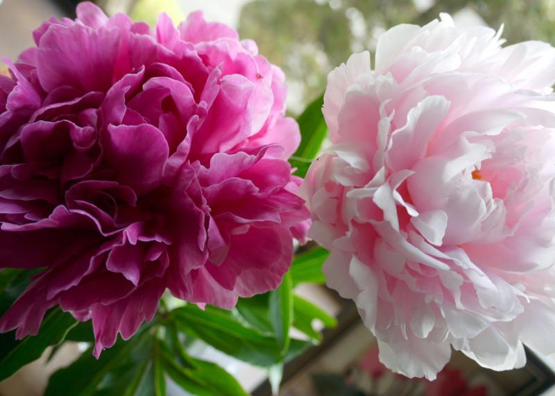 5月16日の誕生花と花言葉♪「芍薬」