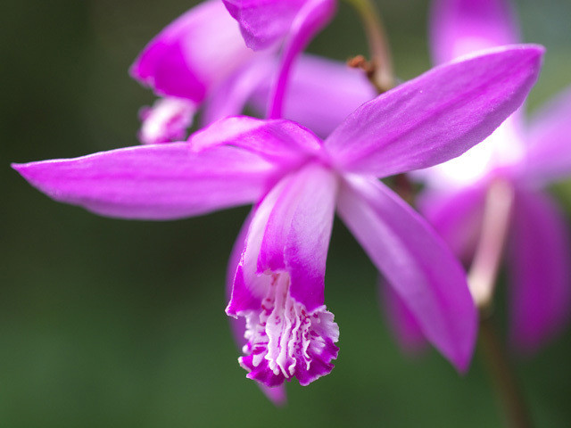 5月17日の誕生花と花言葉♪「シラン」