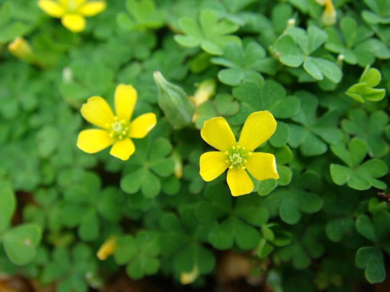 5月20日の誕生花と花言葉♪「カタバミ」