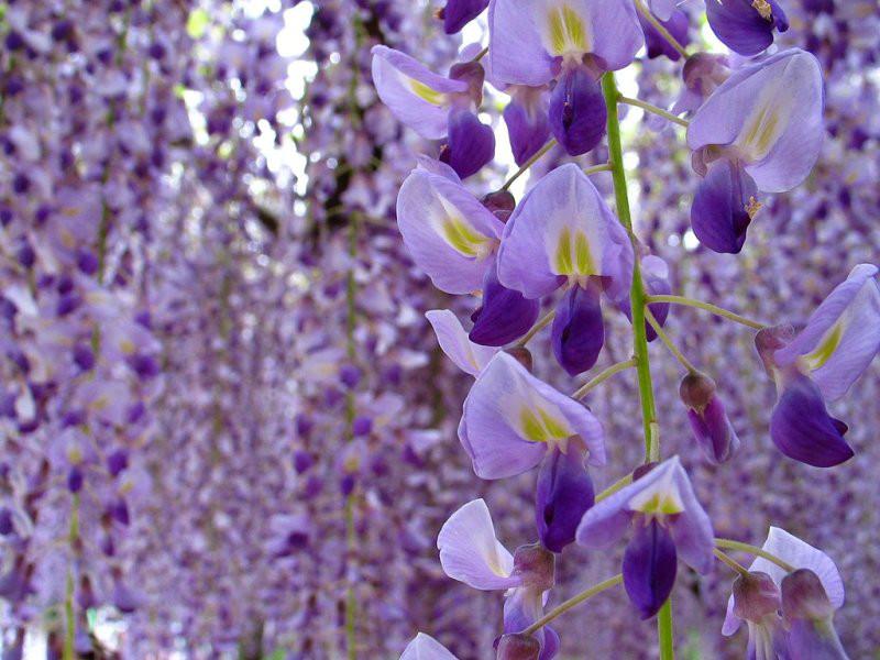 5月21日の誕生花と花言葉♪「藤」