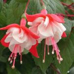 5月22日の誕生花と花言葉♪「フクシア」
