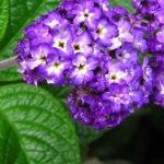 5月24日の誕生花と花言葉♪「ヘリオトロープ」