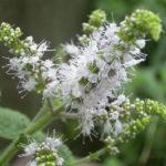 5月28日の誕生花と花言葉♪「ペパーミント」