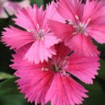 5月29日の誕生花と花言葉♪「ナデシコ」