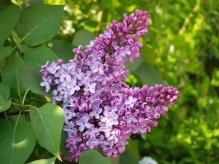 5月30日の誕生花と花言葉♪「ライラック」