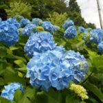 6月1日の誕生花と花言葉♪「アジサイ」