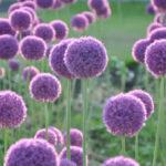 6月2日の誕生花と花言葉♪「アリウム」