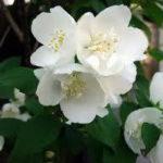 6月4日の誕生花と花言葉♪「梅花空木」