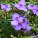 6月6日の誕生花と花言葉♪「紫露草」
