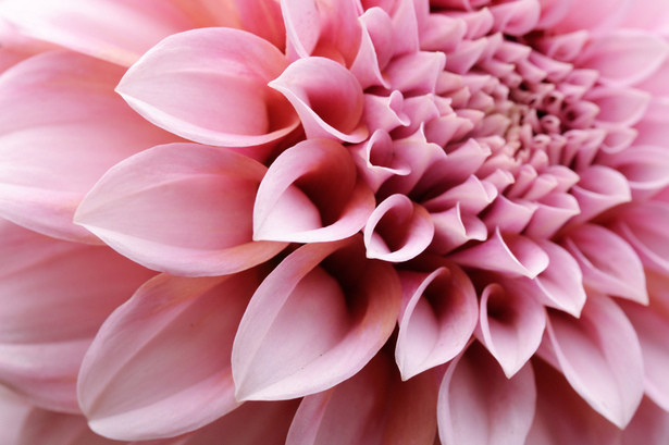 6月5日の誕生花と花言葉♪「ダリア」