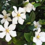 6月7日の誕生花と花言葉♪「くちなし」