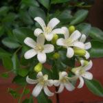 6月8日の誕生花と花言葉♪「ジャスミン」