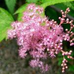 6月9日の誕生花と花言葉♪「京鹿子」