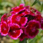 6月10日の誕生花と花言葉♪「ヒゲナデシコ」