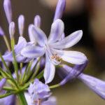 6月11日の誕生花と花言葉♪「紫君子蘭」