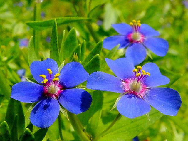 6月14日の誕生花と花言葉♪「瑠璃はこべ」