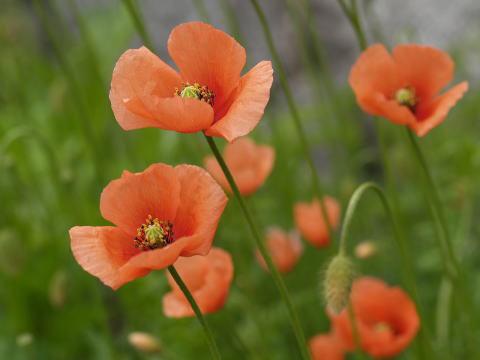 6月15日の誕生花と花言葉♪「ひなげし」