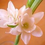 6月16日の誕生花と花言葉♪「チューベローズ」