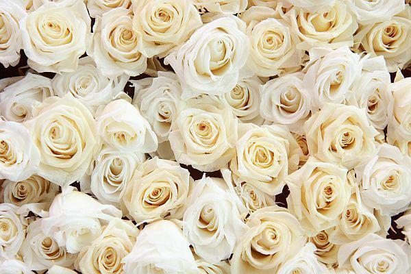 6月17日の誕生花と花言葉♪「白薔薇」