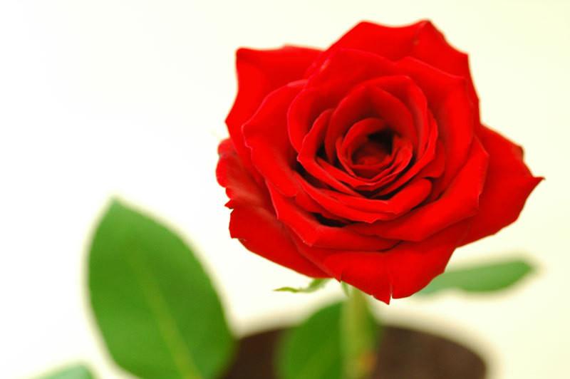 6月19日の誕生花と花言葉♪「バラ(赤)」