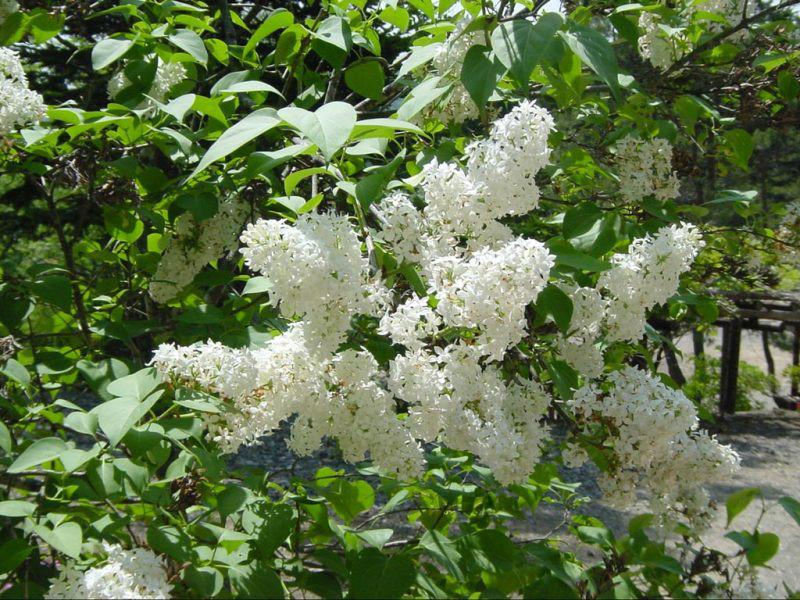 6月25日の誕生花と花言葉♪ライラック