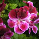 6月28日の誕生花と花言葉♪ぺラゴニュウム