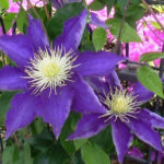 7月1日の誕生花と花言葉♪クレマチス