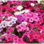 7月2日の誕生花と花言葉♪キキョウナデシコ