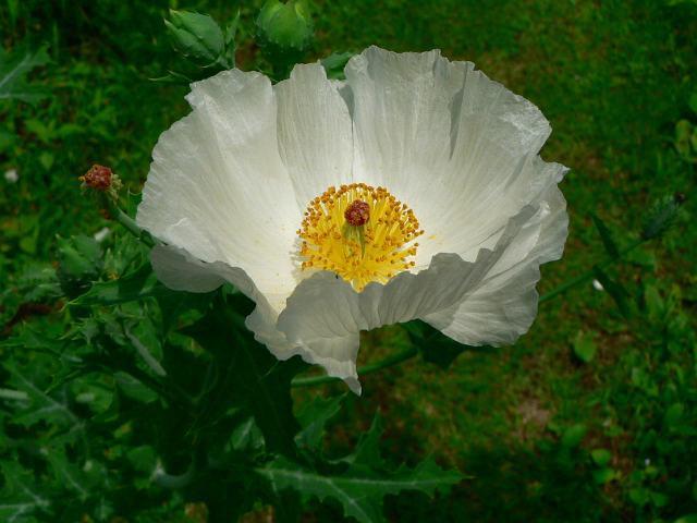 7月3日の誕生花と花言葉♪けし(白)