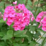 7月4日の誕生花と花言葉♪花魁草
