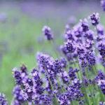 7月5日の誕生花と花言葉♪ラベンダー