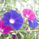 7月6日の誕生花と花言葉♪朝顔
