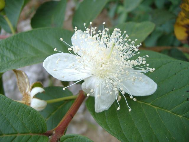 7月8日の誕生花と花言葉♪グアバ
