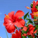 7月14日の誕生花と花言葉♪ハイビスカス